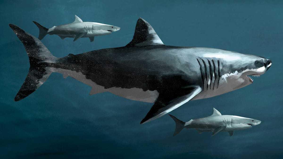 картинки акулы мегалодона