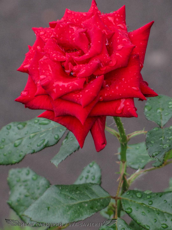 роса на розе, сделано на фотоаппарат Canon PowerShot SX10 IS