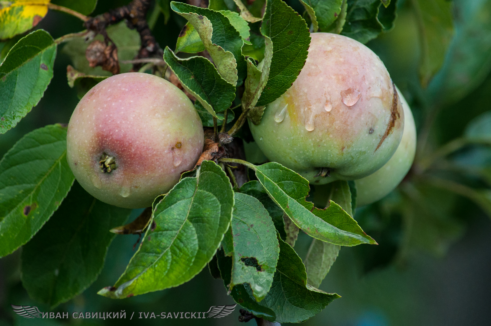 дождевые капли на яблоках, фотоаппарат Nikon D90