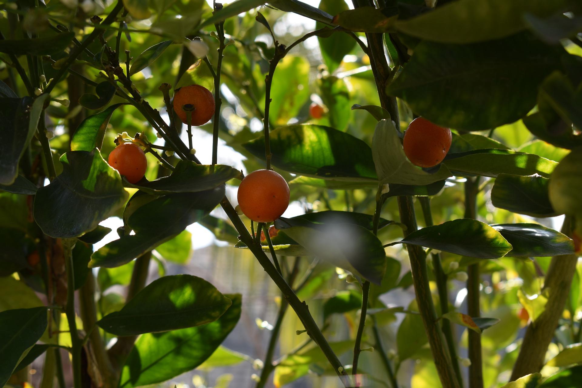 1601192902-citrus-tree-4754734-1920.jpeg