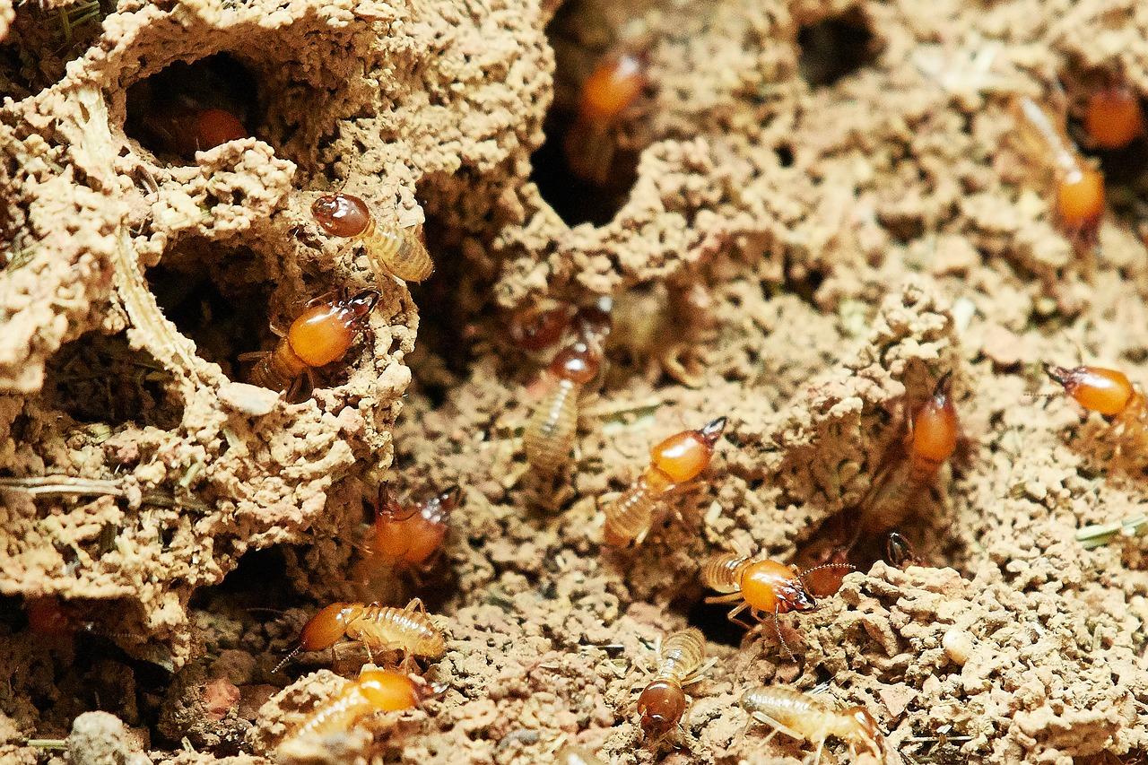 1605797635-termites-3367350-1280.jpeg