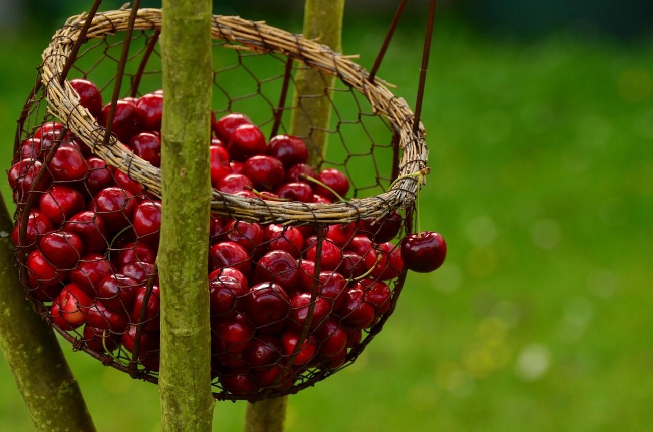 1611766720-cherries-fruits-sweet-cherry-cherry-harvest-fruit-red-garden-summer-591932-jpg-d.jpeg